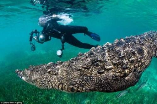 مغامر يغوص ليوثق مشاهد نادرة لتمساح مفترس في قاع البحر
