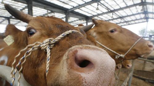 """عدوى """"جنون البقر"""" البشري قد تنتقل عبر الجلد"""