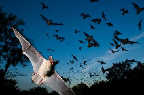 """""""طوفان"""" من الخفافيش تغزو بلدة أسترالية"""