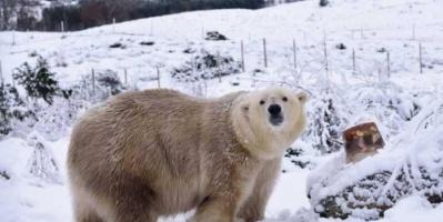 بعد ربع قرن.. ولادة أول دب قطبي في بريطانيا