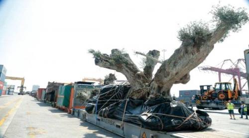 ميناء صلالة العماني ينفي  ما تم تداوله عن نقل أشجار من سقطرى للإمارات