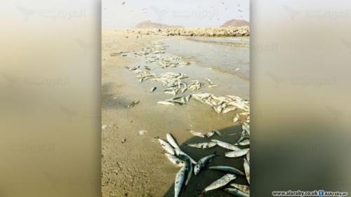 استمرار  نفوق سمك السردين يقلق الصيادين في عدن