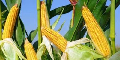 توقف الحرب التجارية بين واشنطن وبكين يبدأ من المنتجات الزراعية الأميركية