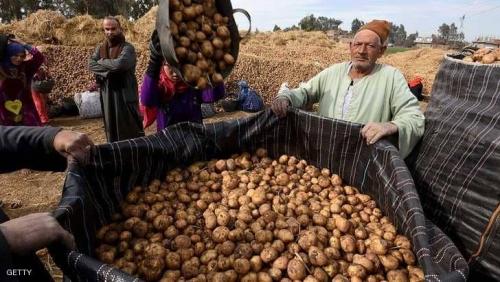 البطاطا المصرية تعود إلى روسيا