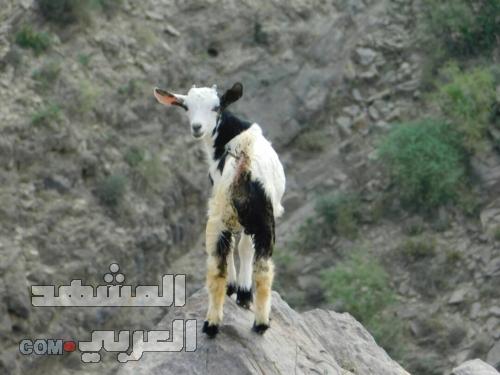 خروف العيد يفاقم معاناة الأسر اليمنية