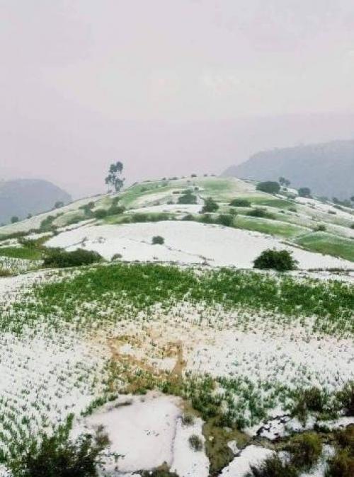 شاهد.. الثلوج تغطي المحاصيل الزراعية بإب