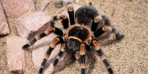 مفاجأة.. سم العناكب الأسترالية يقضي على سرطان الجلد