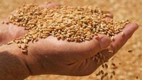 لـ 750 أسرة من صغار المزارعين.. توزيع 30 طنا من بذور القمح بمأرب