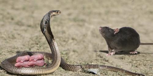 شاهد كيف دفعت الأمومة الفأر لقتالشرس مع أفعى