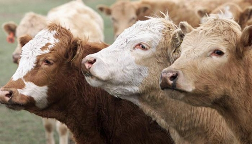 جنون البقر يعود لـ اسكتلندا بعد 10 سنوات غياب
