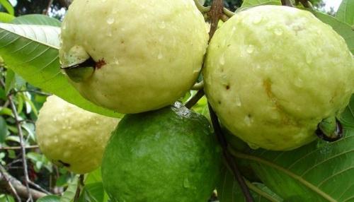 السعودية ترفع الحظر عن استيراد الجوافة المصرية الطازجة