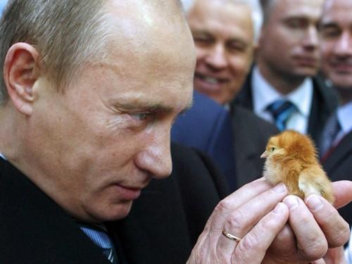 """لمواجهة العقوبات الأمريكية.. بوتين يوجه بإحياء """"صناعة الدجاج"""""""