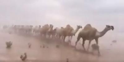 بالفيديو.. شاهد الإبل السعودية وهي تسير وسط السيول!