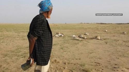 مواطن فقد 30 رأسًا من الماشية: الله يخلصنا من عبدالملك الحوثي