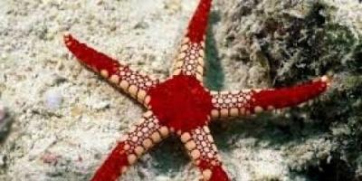 ما لا تعرفه عن نجم البحر الهش (فيديو)