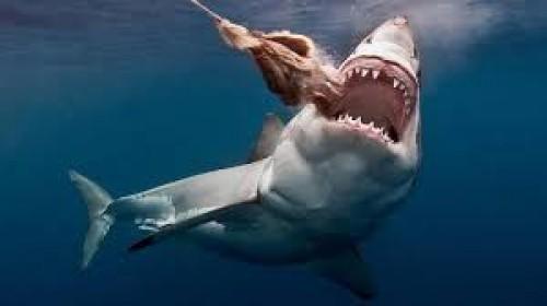 شاهد.. قرش كبير يلتهم وجبة دسمة قرابة سواحل جنوب إفريقيا