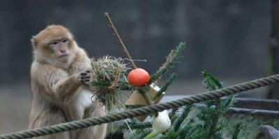 أشجار الكريسماس تتحول إلى وجبة شهية لحيوانات حديقة برلين