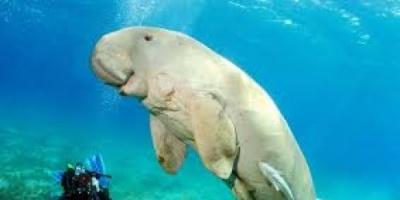 ما لا تعرفه عن حيوان الأطوم البحري (فيديو)