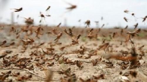 حشرة تهدد المحاصيل الزراعية والمواطنين بحضرموت.. بالتفاصيل