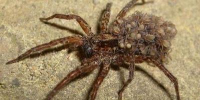 ما لا تعرفه عن العنكبوت الرملي (فيديو)