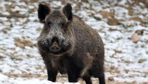 بولندا تحمي مزارعها من الإنفلونزا المميتة بذبح 200 خنزير بري