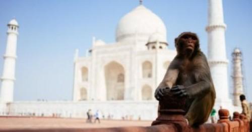 الشرطة الهندية تطارد القرود بالنبال في مزار تاج محل