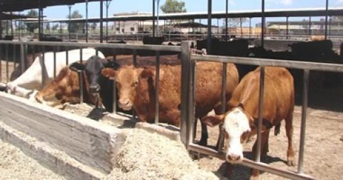 بولندا تعلن عن ظهور حالة إصابة شاذة بمرض جنون البقر