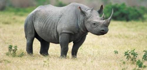 شاهد.. آخر أنثى لوحيد القرن في العالم قبل انقراضها