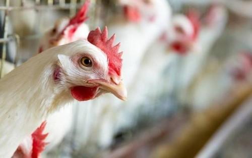 """بعد إعدام 2000 طائراً.. الكويت تؤكد سلامة مزارعها من """"إنفلونزا الطيور"""""""