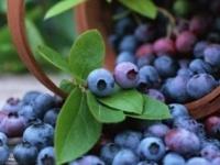 دراسة حديثة تكشف : التوت الأزرق يقلل مخاطر الإصابة بأمراض القلب