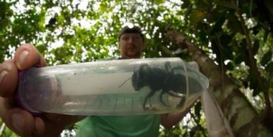 العثور على أكبر نحلة في العالم بعد اختفائها عام 1981