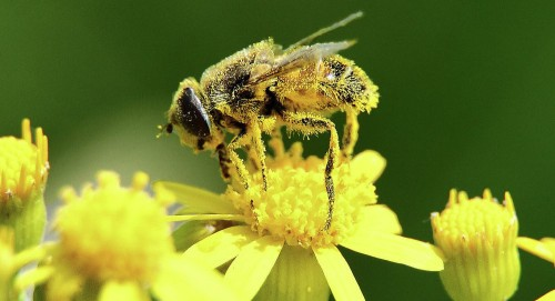 تعرف على فوائد حبوب لقاح النحل لصحة الإنسان