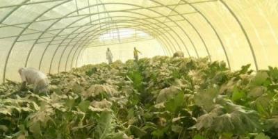 تدشين حصاد محصول الكوسة للبيوت المحمية في المهرة (صور)