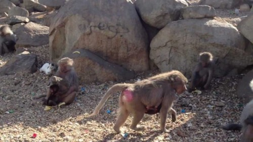 السعودية.. مصرع عامل نظافة أثناء فراره من قرود فوق جبل النور