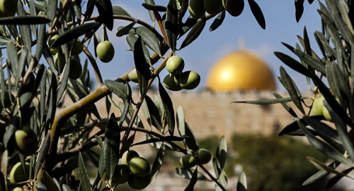 """""""تدفع الثمن"""" تقطع 150 شجرة زيتون مثمرة في برقة بشرق رام الله"""