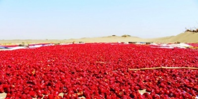 """ألغام تنبت وسط الحقول.. الحوثيون يحرقون """" الفلفل الأحمر """""""