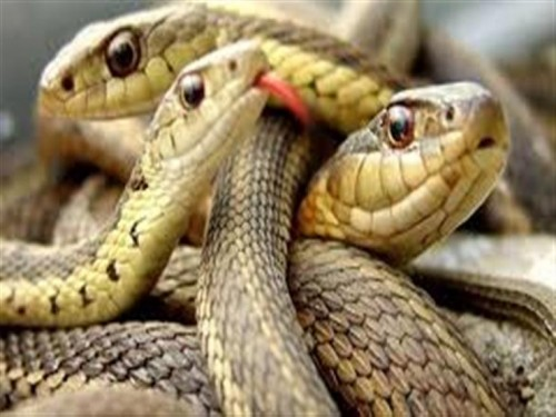 الصحة العالمية : 138 ألف شخص ضحايا لدغات الثعابين سنوياً