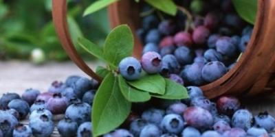 دراسة حديثة: التوت الأزرق يقي من السرطان ويخفض ضغط الدم
