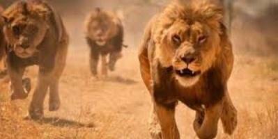 في جنوب أفريقيا..هروب جماعي لـ 14 أسدا من حديقة وإعلان حالة الاستنفار