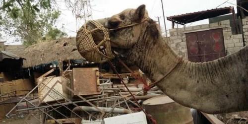 مليشيات الحوثي تقدم على تفخيخ الحيوانات في الحديدة
