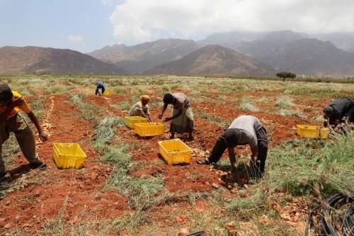 انطلاق حصاد محصولي الشمام والحبحب من مزرعة الجنينة بسقطرى