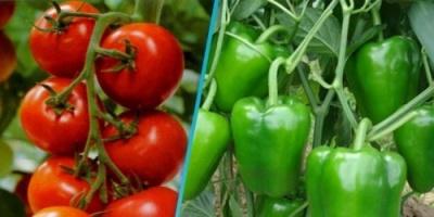 تعرّف على فائدة تناول الطماطم والفلفل الأخضر مع الوجبات