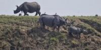 وحيد القرن يتوجه إلى المرتفعات بعد موجة من الفيضانات الشديدة بالهند