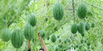 البطيخ الصيني يغزو العالم بإنتاج قيمته 290 مليار دولار