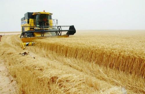 """العراق يعلن اكتفاءه ذاتيًا من إنتاج محصول """"الحنطة"""""""