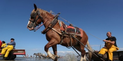 """(صور).. صيادون يستخدمون """"الخيول"""" بدلاً من """"المراكب"""" في الصيد ببلجيكا"""