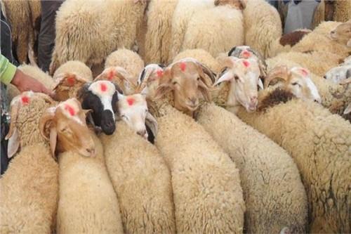 شكاوى كويتية من ارتفاع أسعار ذبائح عيد الأضحى