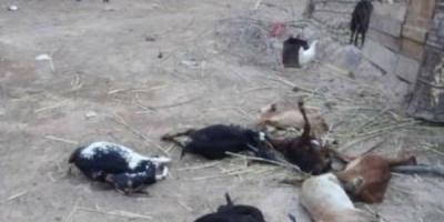 مرض غريب يفتك بالثروة الحيوانية في وادي ميفعة بشبوة