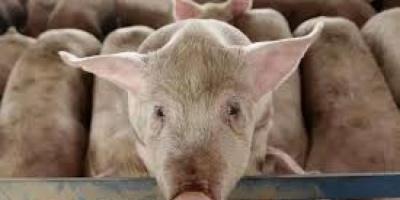 """كوريا الجنوبية تعلن عن ثاني حالة إصابة بـ""""حمى الخنازير"""""""