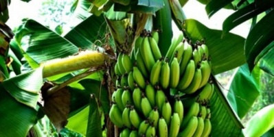 """فطر يهدد وجود """"الموز"""" في العالم"""
